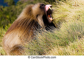 Male gelada baboon Theropithecus gelada showing his fangs,...