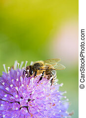 Bee sucking nectar from scabiosa flower on a sunny spring...