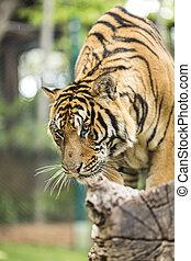cierre, Arriba, tigre, en, selva, el, peligro, animal.,