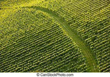 Vine rows in perfect sunlight with dirt road dividing the...