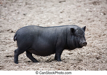 Vietnamese Potbelly Pig - background can use the Internet,...