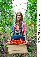 harvesting tomatoes - Young smiling agriculture woman worker...