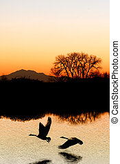 Evening Geese Silhouette - Evening silhouette of Canadian...