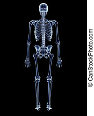 The human skeleton - accurate medical illustration of the...