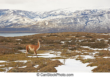 Guanaco in the Torres del Paine - Guanaco Lama guanicoe...