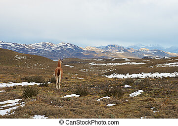 Guanaco in the Torres del Paine