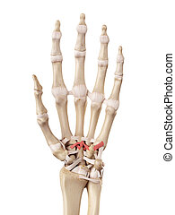 The carpometacarpal ligaments - medical accurate...