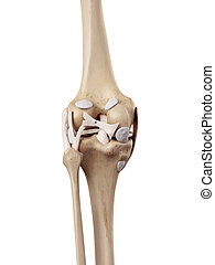 The knee ligaments - medical accurate illustration of the...