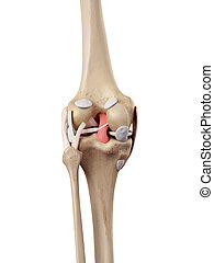The posterior cruciate ligament - medical accurate...