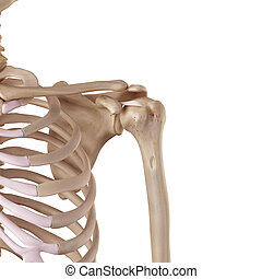 The coracohumeral ligament - medical accurate illustration...