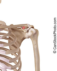 The trapezoid ligament - medical accurate illustration of...
