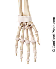 The hand ligaments - medical accurate illustration of the...