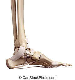 The foot ligaments - medical accurate illustration of the...