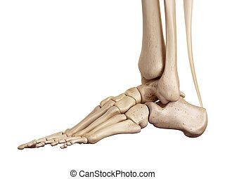 The achilles tendon - medical accurate illustration of the...