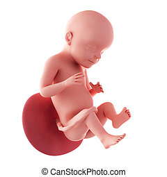 Fetus - week 28 - medical accurate illustration of a fetus -...
