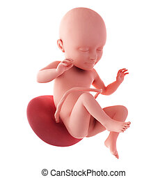 Fetus - week 34 - medical accurate illustration of a fetus -...