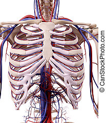 The thorax blood vessels - medical accurate illustration of...