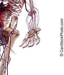 The hand blood vessels - medical accurate illustration of...