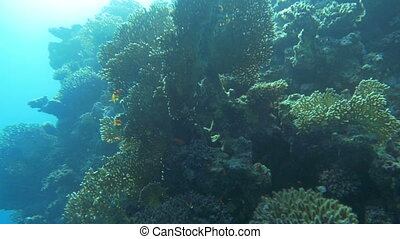 Sun-Drenched Coral Reef - Slow motion shot of a coral reef...