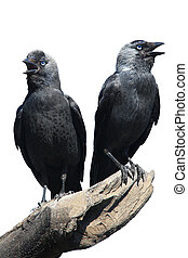 Two Wild Jackdaw - TwoWild Jackdaw - Corvus monedula on a...