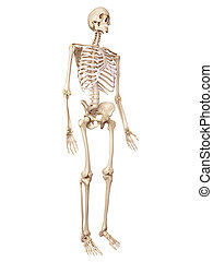 The human skeleton - medical accurate illustration of the...