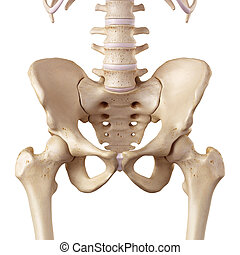 The hip - medical accurate illustration of the hip