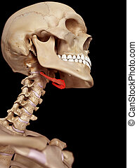 The hyoid bone - medical accurate illustration of the hyoid...