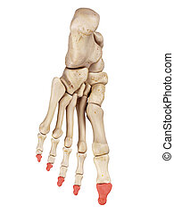 The distal phalanx bones - medical accurate illustration of...