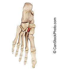 The intermediate cuneiform bone - medical accurate...
