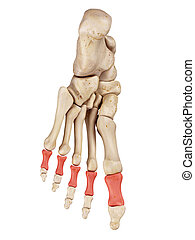 The proximal phalanx bones - medical accurate illustration...