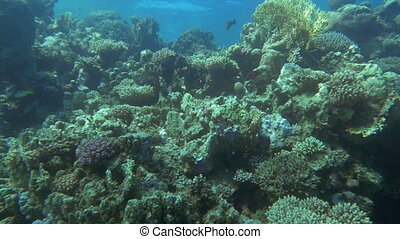 Underwater scenic view of fishes on coral reef - Slow motion...