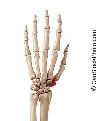 梯形, 骨頭