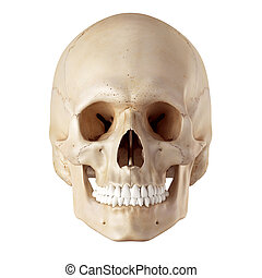 The human skull - medical accurate illustration of the human...
