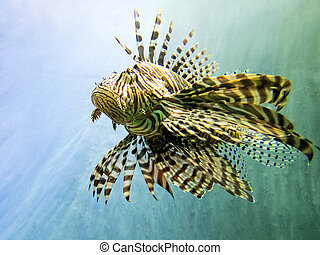 Red lionfish as beautiful as dangerous is
