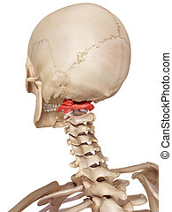 The atlas bone - medical accurate illustration of the atlas...