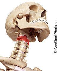 The axis bone - medical accurate illustration of the axis...