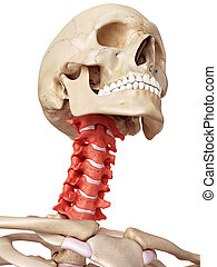 The cervical spine - medical accurate illustration of the...