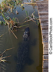 Alligator along dock