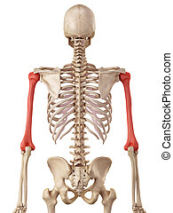 The humerus bone - medical accurate illustration of the...