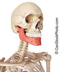 The jaw bone - medical accurate illustration of the jaw bone