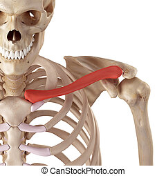 The clavicle - medical accurate illustration of the clavicle