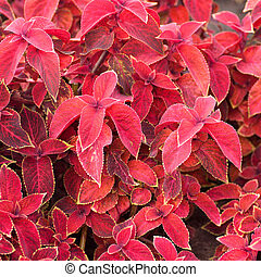 leaves of Coleus colored red background