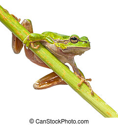 European Tree frog diagonal green stick - European Tree Frog...