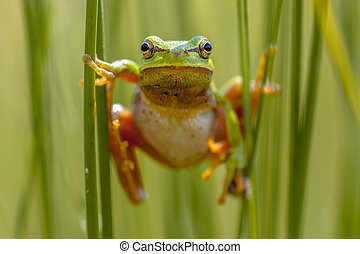 European tree frog frontal view - European tree frog Hyla...