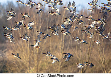 grande, rebanho, de, Eurasian, wigeon, (Anas, penelope), em,...
