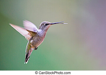 Black-chinned, Colibrí,