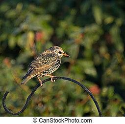 普通, starling, 冬天, 鳥類羽毛
