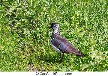 The Lapwing - The small bird - Lapwing on the road