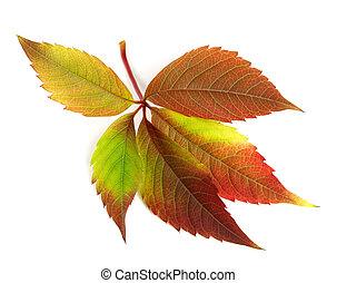Autumnal multicolor grapes leaf Parthenocissus quinquefolia...