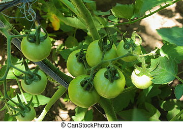 growing tomatoes - you can see how to grow tomatoes in the...